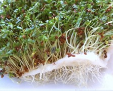Superfood Spotlight: Broccoli Sprouts