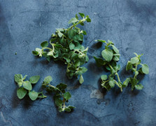 Aerial view of oregano antioxidant herbs on a dark blue background