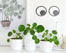 Three white planters with green Pilea peperomioides with a candle and a wooden bunny next to them