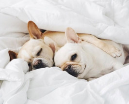 french bull dogs cuddling in blankets